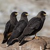 A gang of Striated Caracaras waiting to pounce
