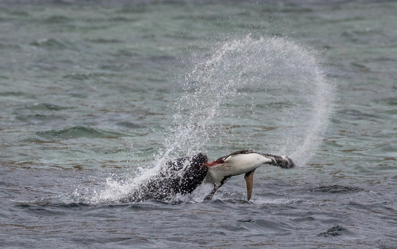 One Magellanic Penguin which would not be returning to its chick.