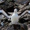 A Black-browed Albatross on Bird Island stretching its wings