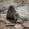 A Fur Seal family with a newborn pup