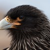 Striated Caracara portrait - they approach you fearlessly and will steal anything!