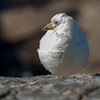 Southern Sheathbill