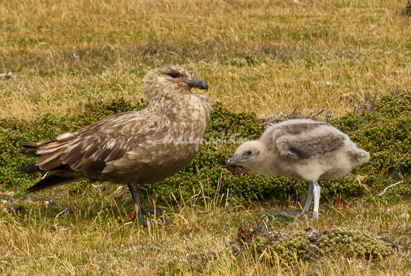 Falklands Skua