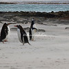 Gentoo penguins on a windy, sand swept Beach, Bleaker Island