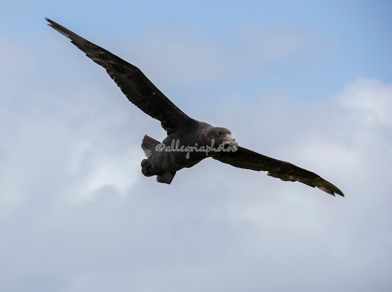 Giant Southern Petrel