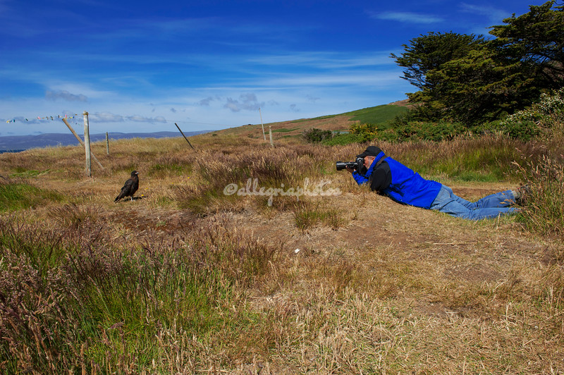 Photographing the striated caracara, Carcass Island.