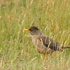 Falklands Thrush