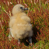 Falkland Skua chick in the ferns, Carcass Island.