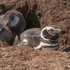 A pair of Magellanic penguins in their burrow, Carcass Island.