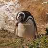 Magellanic penguins have bad eyesight. When they tilt their heads they are trying to get a better view.