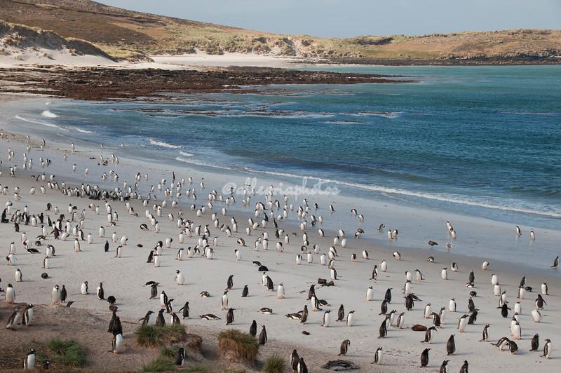 Leopard Beach, Carcass Island