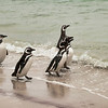 Magellanic Penguins walking in the surf, Cacass Island