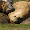 Falkland Islands Molting elephant seals Carcass Island