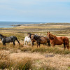 Wild horses on Pebble Island