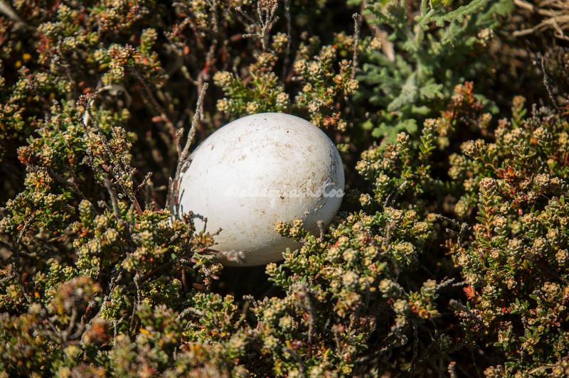 Rockhopper Penguin Egg