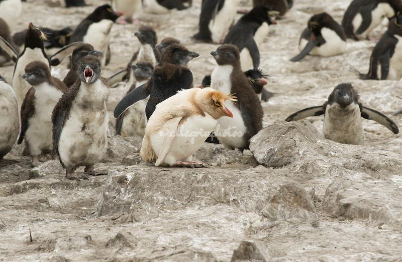 Leukistic rockhopper penguin