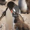 Rockhopper Penguin