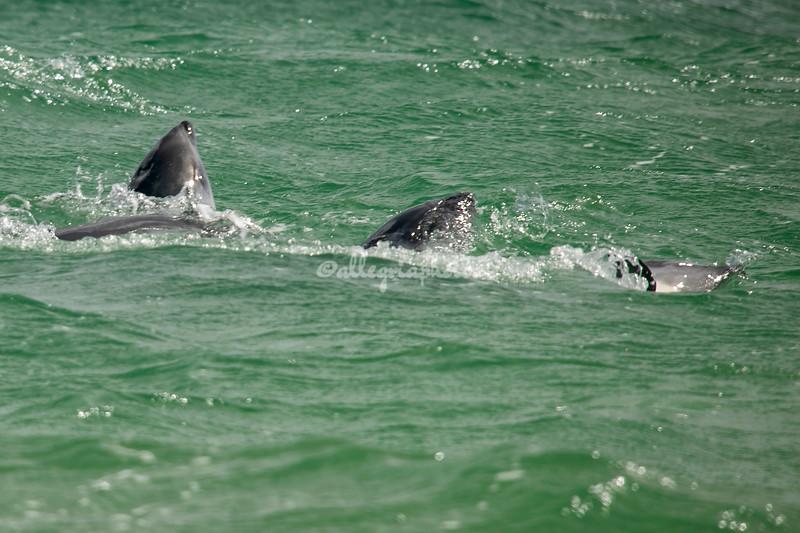 Peele's Dolphins
