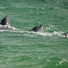 Peale's Dolphins frolicking in the surf off Pebble Island.