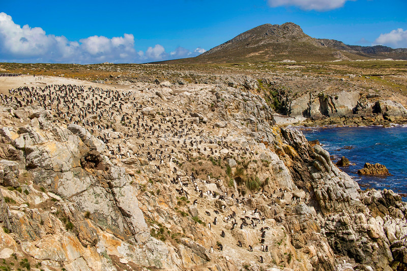 Rockhopper Penguin and imperial shag colony