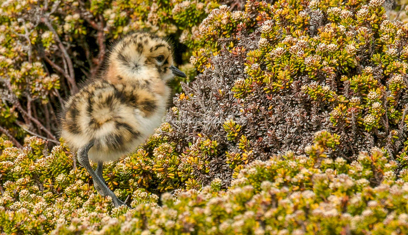 Two banded plover chick