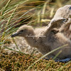 Falklands Skua Chick