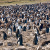 Rockhopper Penguin colony on Pebble Island.