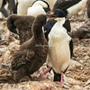 Imperial shag feeding chick, Pebble Island