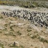 Photographing the rockhopper colony