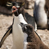 A rockhopper penguin feeding its chick, Pebble Island, Falkland Islands