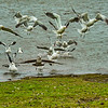 A flock of kelp gulls taking off, Pebble Island.