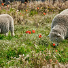 Sheep grazing amongst the poppies, Pebble Island
