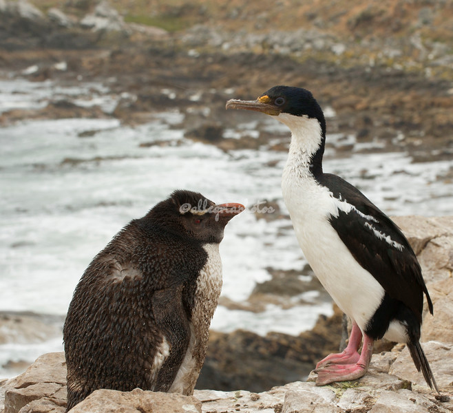 Rockhopper Penguin and Imperial Shag