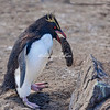Rockhopper penguin collecting a pebble