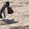 Rockhopper carrying an enormous clod of earth