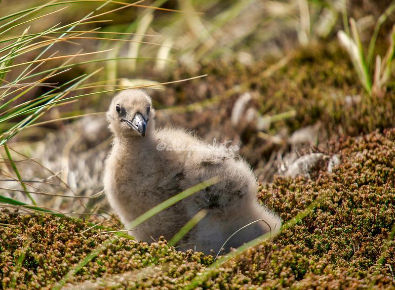 Falklands Skua chick
