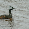 White tufted grebe