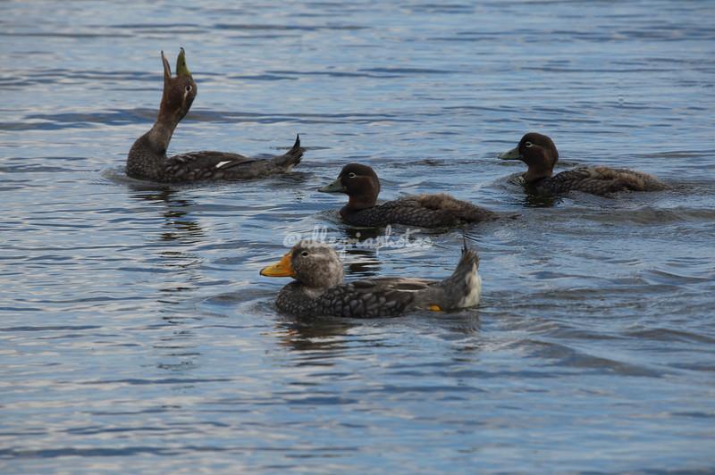 Steamer ducks