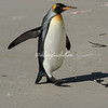 A king penguin strolls across the beach, The Neck, Saunders Island
