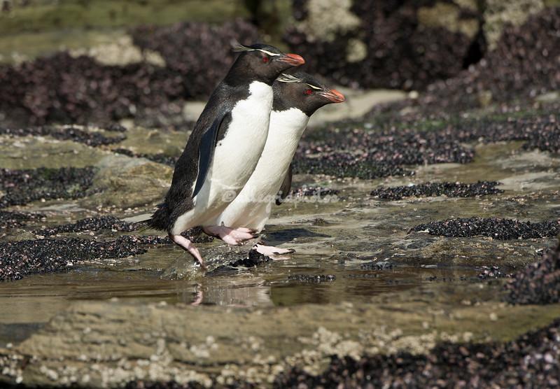 Rockhopper penguins