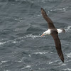 A black-browed albatross in flight at The Rookery, Saunders Island.