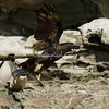 Striated Caracara attack