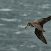 A southern Giant Petrel, The Neck, Saunders Island