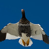 A Kelp Goose flying overhead, The Neck, Saunders Island.