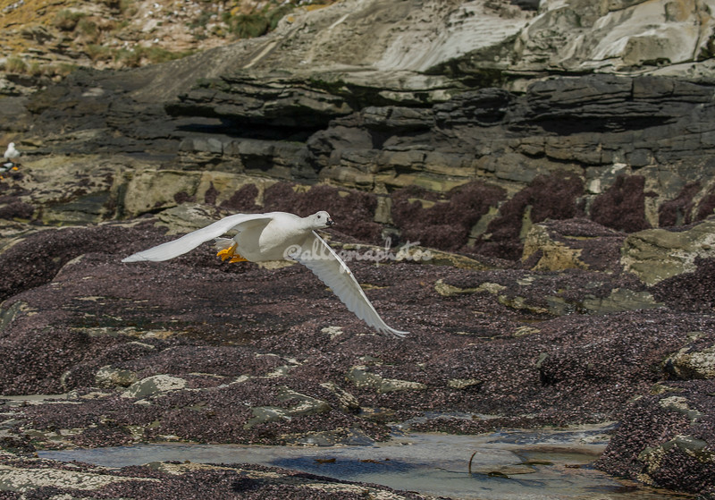 A Kelp goose in flight, The Neck, Saunders Island