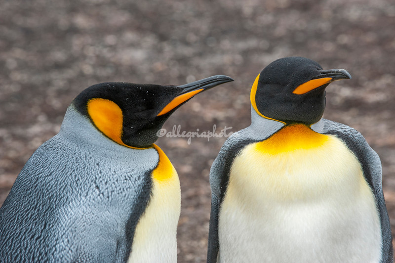 King penguin, The Neck, Saunders