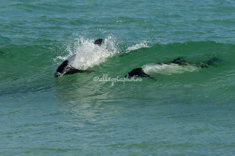 Commerson's Dolphins