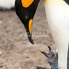 A king penguin and its chick, the Neck, Saunders Island
