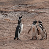 A Magellanic penguin, also known as a Jackass Penguin, braying, The Neck, Saunders Island