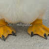 Gentoo penguin feet, Falkland Islands